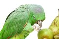 Mealy amazon parrot eating on white amazona farinosa of a background Stock Images
