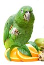 Mealy amazon parrot eating on white amazona farinosa of a background Stock Image