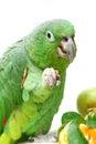 Mealy amazon parrot eating on white amazona farinosa of a background Royalty Free Stock Photos