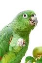 Mealy amazon parrot eating on white amazona farinosa of a background Royalty Free Stock Photo