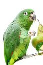 Mealy amazon parrot eating on white amazona farinosa of a background Royalty Free Stock Image