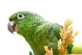 Mealy amazon parrot eating on white amazona farinosa of a background Stock Photography