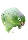 Mealy amazon parrot on white background amazona farinosa in front of a Stock Photos