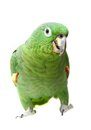 Mealy amazon parrot on white background amazona farinosa in front of a Stock Photography