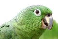 Mealy amazon parrot on white background amazona farinosa in front of a Stock Photo