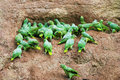 Mealy parrots at a clay lick amazona farinosa eating to digest seeds peru Royalty Free Stock Image