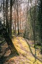 Meandering footpath through winter woodland Royalty Free Stock Photo