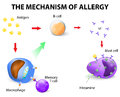 Mechanism of allergy Royalty Free Stock Photo