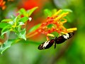Mechanitis butterfly in aviary polymnia also known as orange spotted tiger clearwing or disturbed tigerwing is a of the family Stock Photo