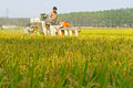 Mechanized harvesting rice in the season of ripe chinese farmers in the use mechanical is our main food Stock Photography