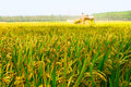 Mechanized harvesting rice in the season of ripe chinese farmers in the use mechanical is our main food Royalty Free Stock Photography