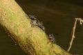 Meder's Mangrove crabs Stock Image