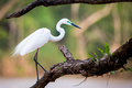 Median egret perching is seen on a twig in monsoon season in india these birds breed in the months of may to june and nest in safe Royalty Free Stock Photos