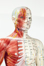 Medical dummy close up of Royalty Free Stock Photo