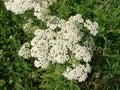 Medical herb, Achillea millefolium, yarrow or nosebleed plant Royalty Free Stock Photo