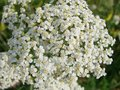 Medical herb, Achillea millefolium, yarrow or nosebleed plant Royalty Free Stock Photo