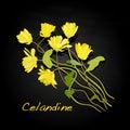 Medical Herbs. Celandine vector.