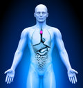 Medical imaging male organs thymus Stock Image