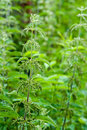 Medical nettle Royalty Free Stock Photo