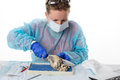 Medical student doing anatomy classes young female sitting at a bench in the laboratory dissecting and analysing the heart of a Royalty Free Stock Image