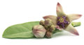 Medicinal Crown flower Royalty Free Stock Photo