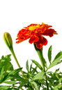 Medicinal herb flower calendula (Calendula officinalis) isolated on a white background Royalty Free Stock Photo