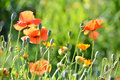 Medicinal herb and poppy in the field Stock Photos