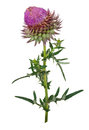 Medicinal hlant thistles on white background Stock Photo