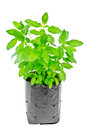 Medicinal holy basil plant isolated on white background Royalty Free Stock Photos