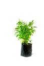 Medicinal holy basil plant isolated
