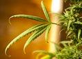 Medicinal marijuana Royalty Free Stock Image