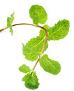 Medicinal mint fresh over white background Stock Image