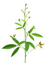 Medicinal Pigeon pea leaves and flower Royalty Free Stock Photo