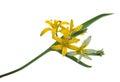 Medicinal plant: Gagea lutea