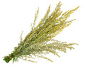 Medicinal plant. Sagebrush Royalty Free Stock Photo
