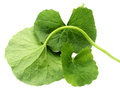 Medicinal thankuni leaves or gotu kola over white background Royalty Free Stock Images