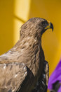 Medieval golden eagle, detail of head with large eyes, pointed b Royalty Free Stock Photo
