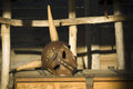 Medieval helmet with horns metal on wooden chest Stock Image
