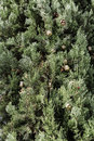 Mediterranean Cypress cones and branches Royalty Free Stock Photo