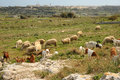 Mediterranean flock farming methods have resisted change in some quarters a herd of sheep and goats graze on the heights Stock Photo