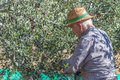 Mediterranean food farmer at work with olive tree Stock Images