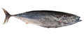 Mediterranean horse mackerel.Trachurus mediterraneus Royalty Free Stock Photo