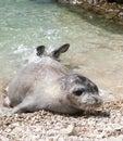Mediterranean monk seal Royalty Free Stock Photo