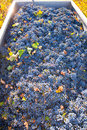 Mediterranean vineyard harvest cabernet sauvignon grape field in spain Royalty Free Stock Photography