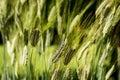 Medium spelt - triticum dicoccum - poaceae Royalty Free Stock Photo