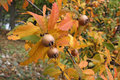 Medlar fruits a tree with ripe in autumn Stock Images