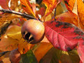 Medlar stil on the tree Stock Images