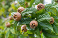 Medlars in fruit tree Royalty Free Stock Photo