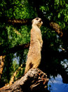 Meercat on alert at the melbourne zoo Royalty Free Stock Photo