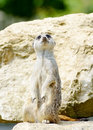 Meercat alert standing upright looking for danger Royalty Free Stock Image